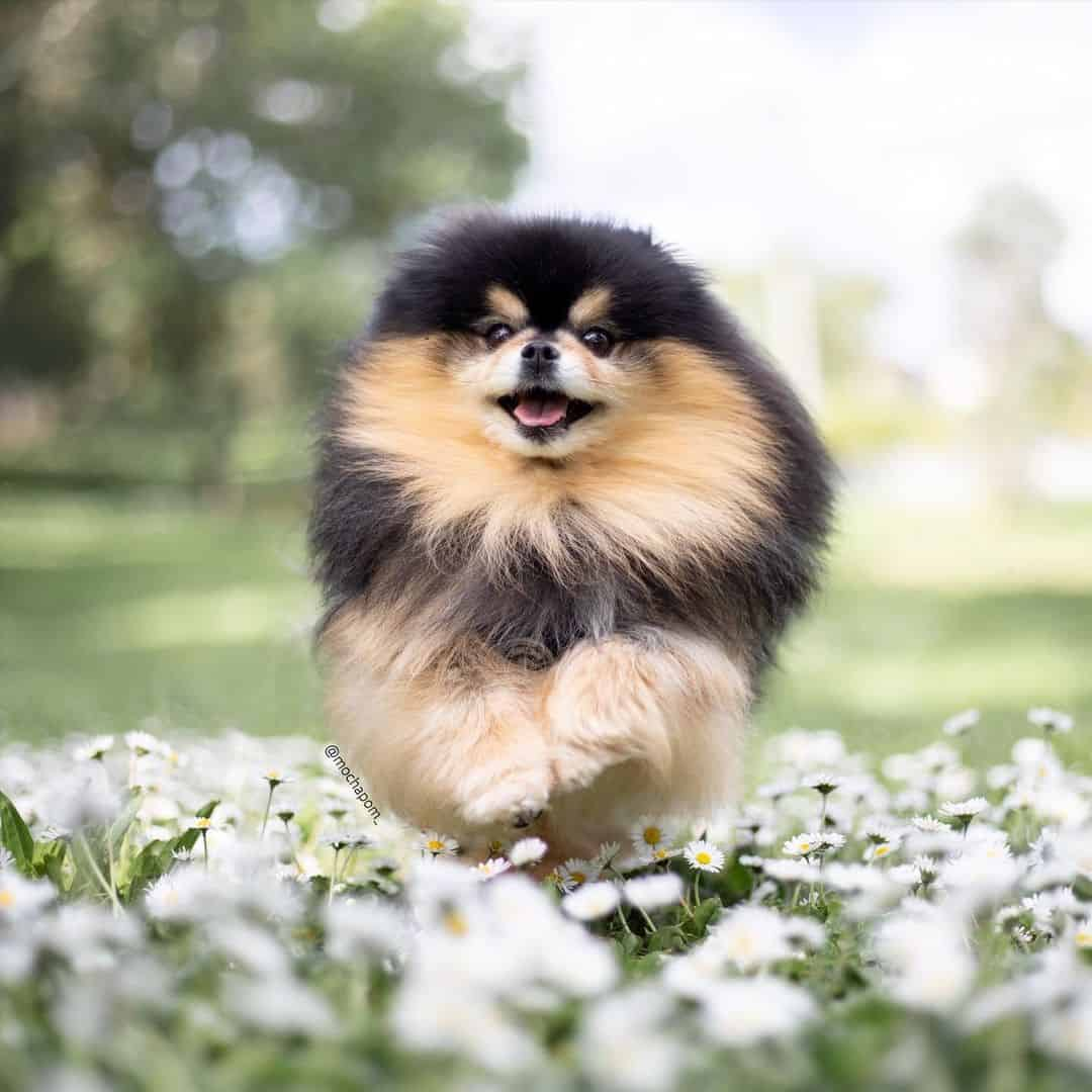 happy pomeranian running through a field of flowers