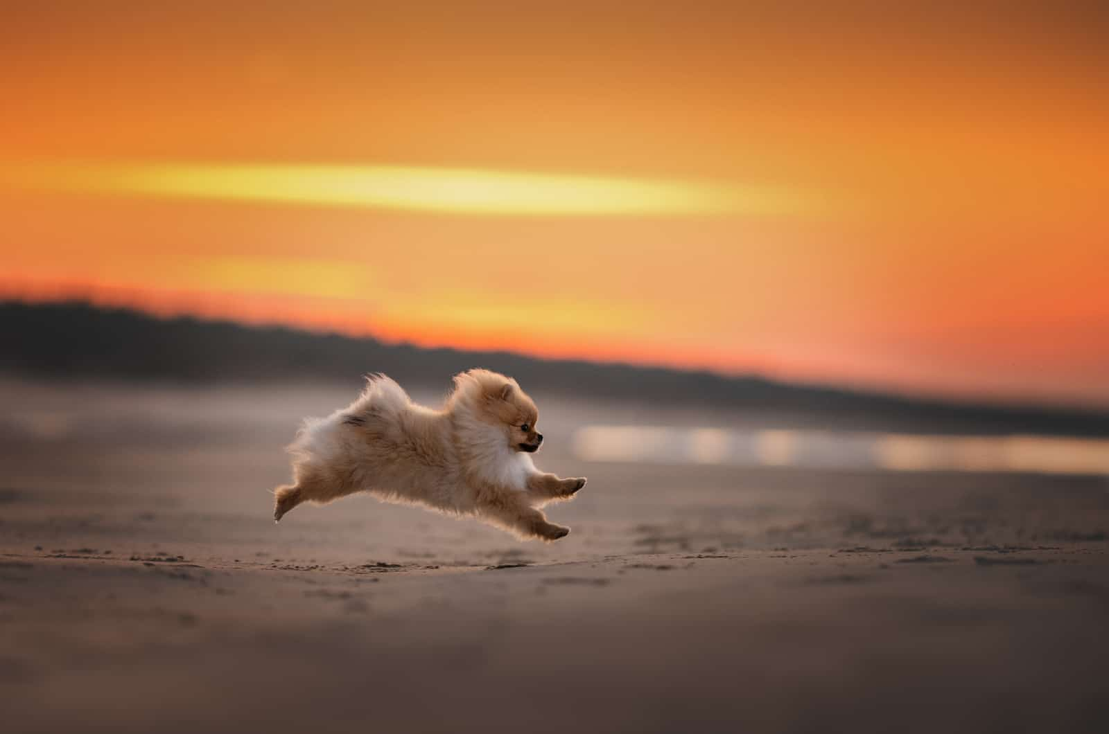 happy pomeranian running