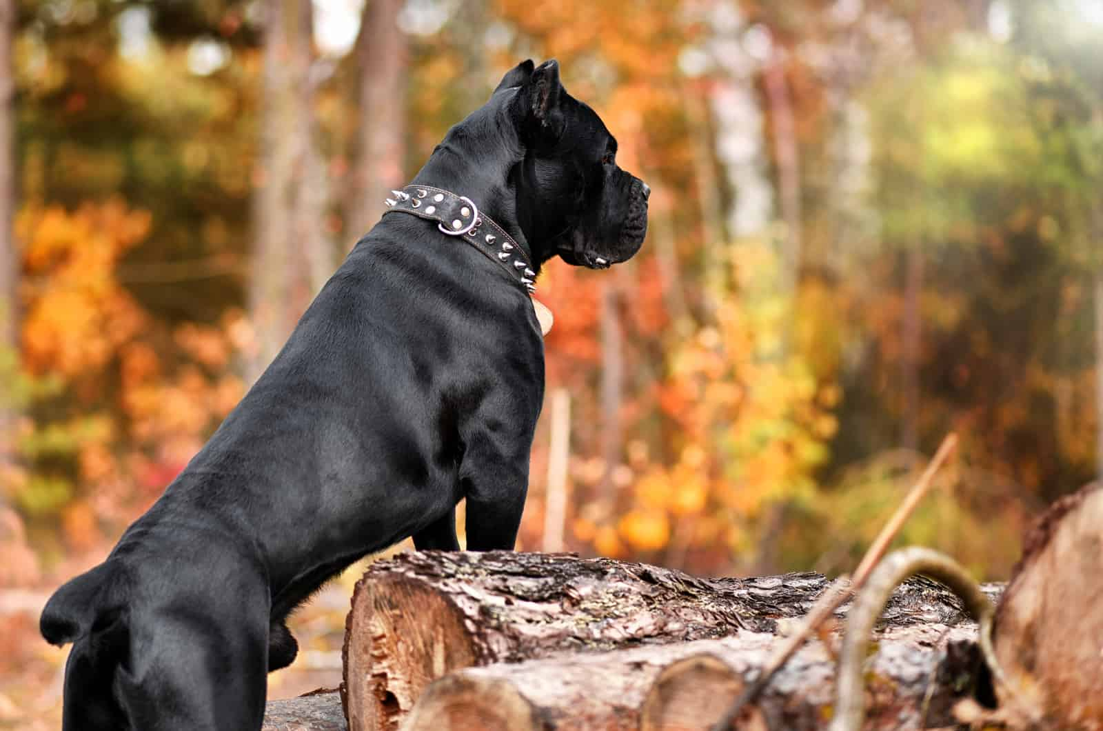 large cane corso in a forest