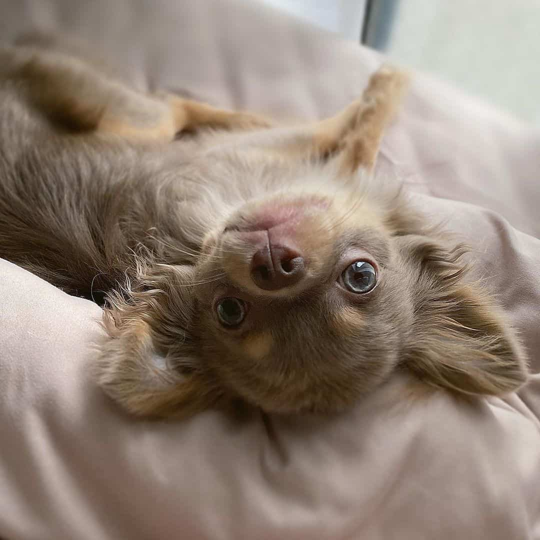 long-haired chihuahua lies down and poses for camera