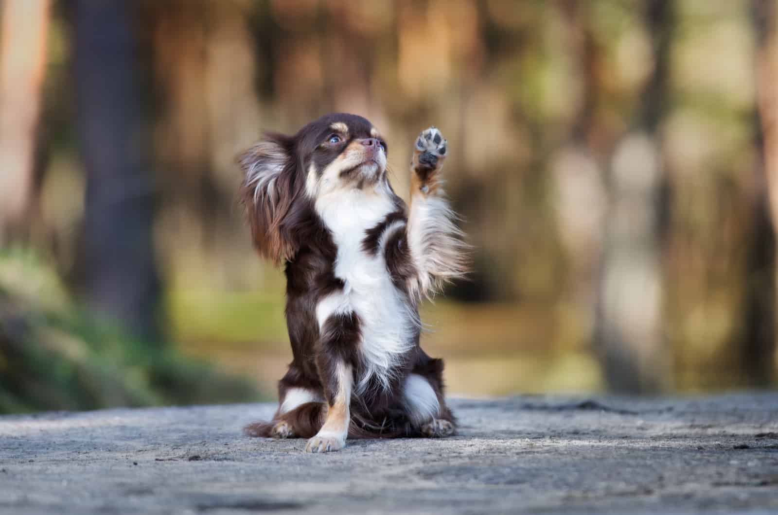 long-haired chihuahua raising a paw