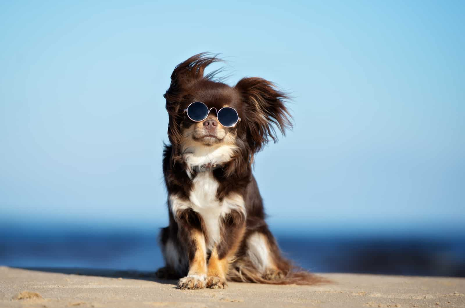 long-haired chihuahua with glasses