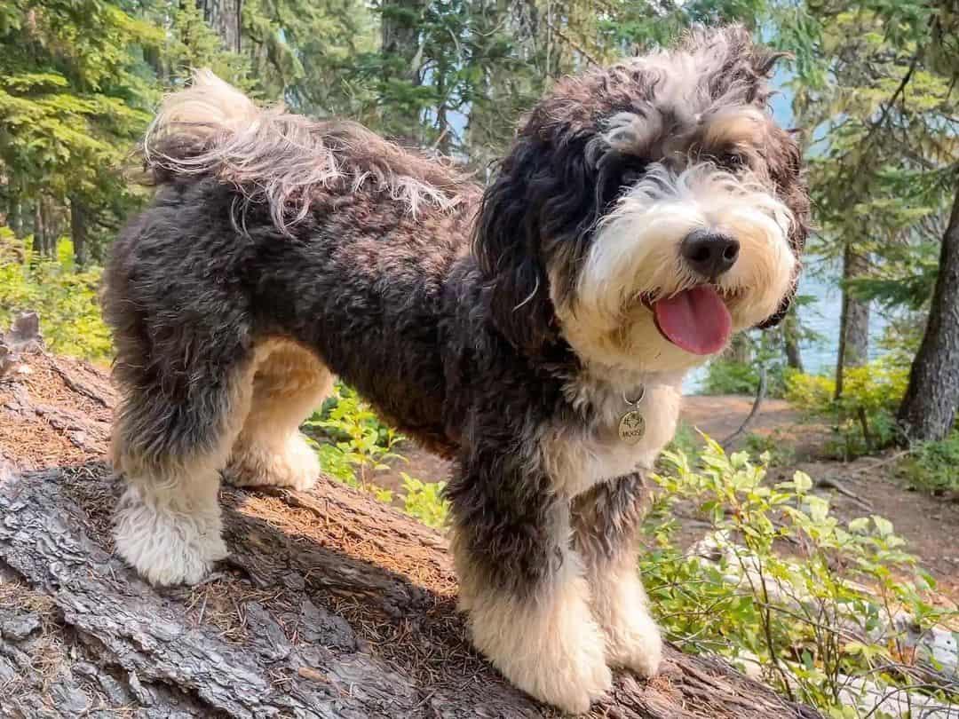 mini bernedoodle dog