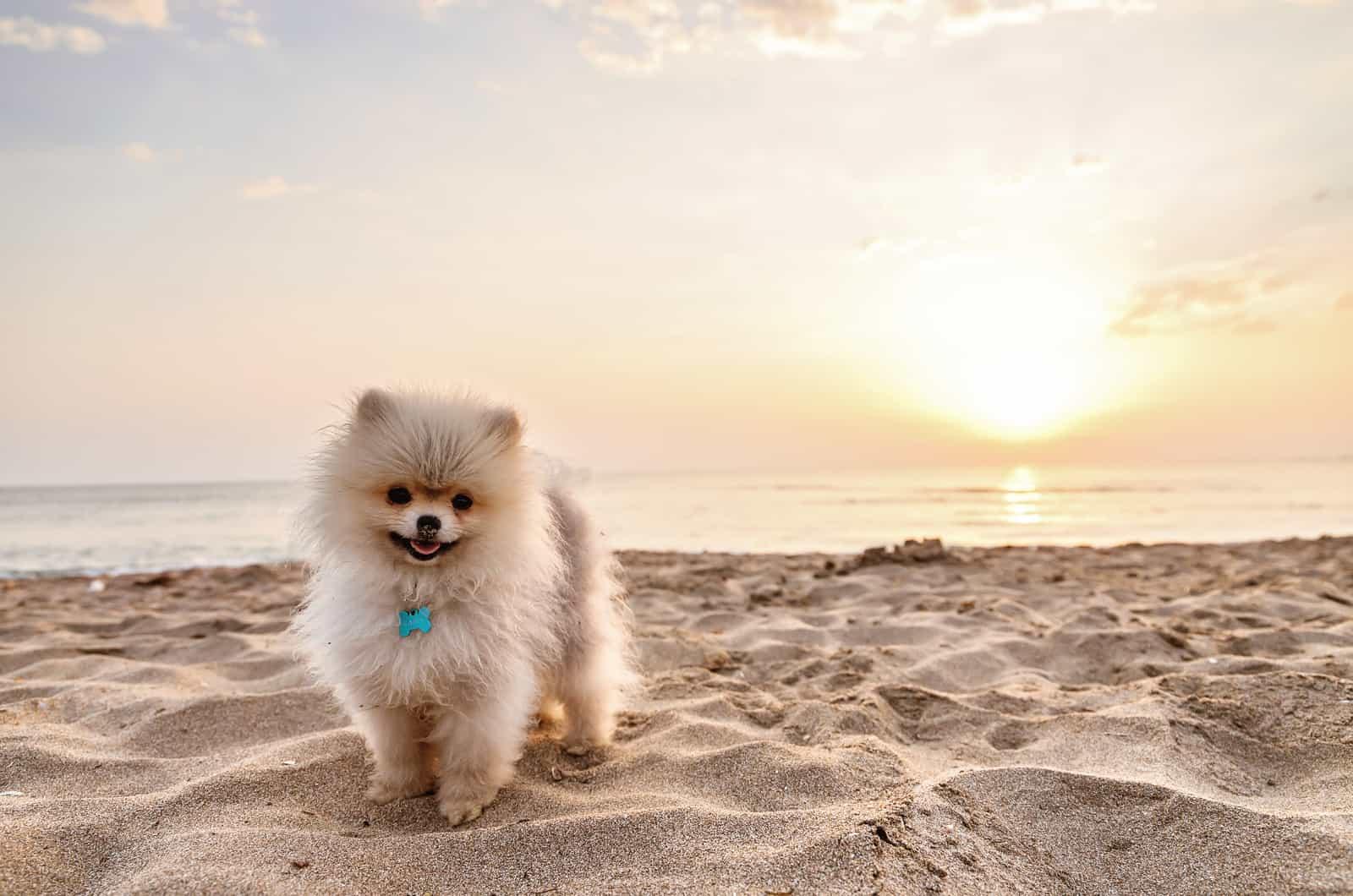 pomeranian at a sandy beach