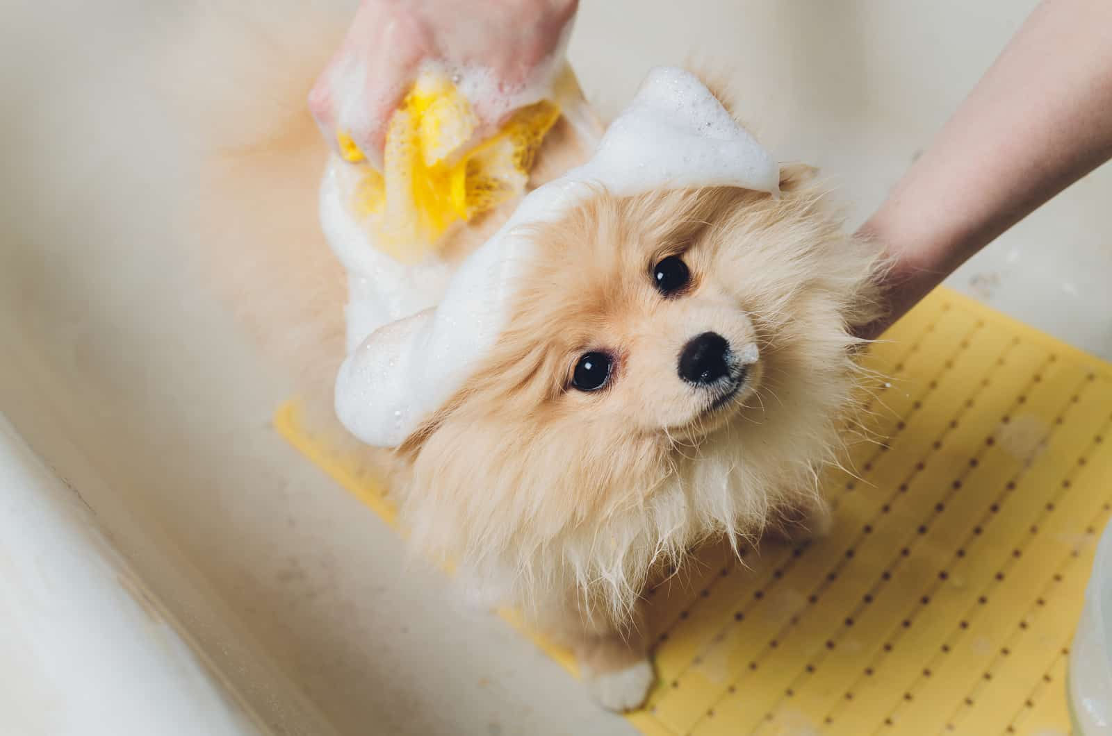 pomeranian being bathed