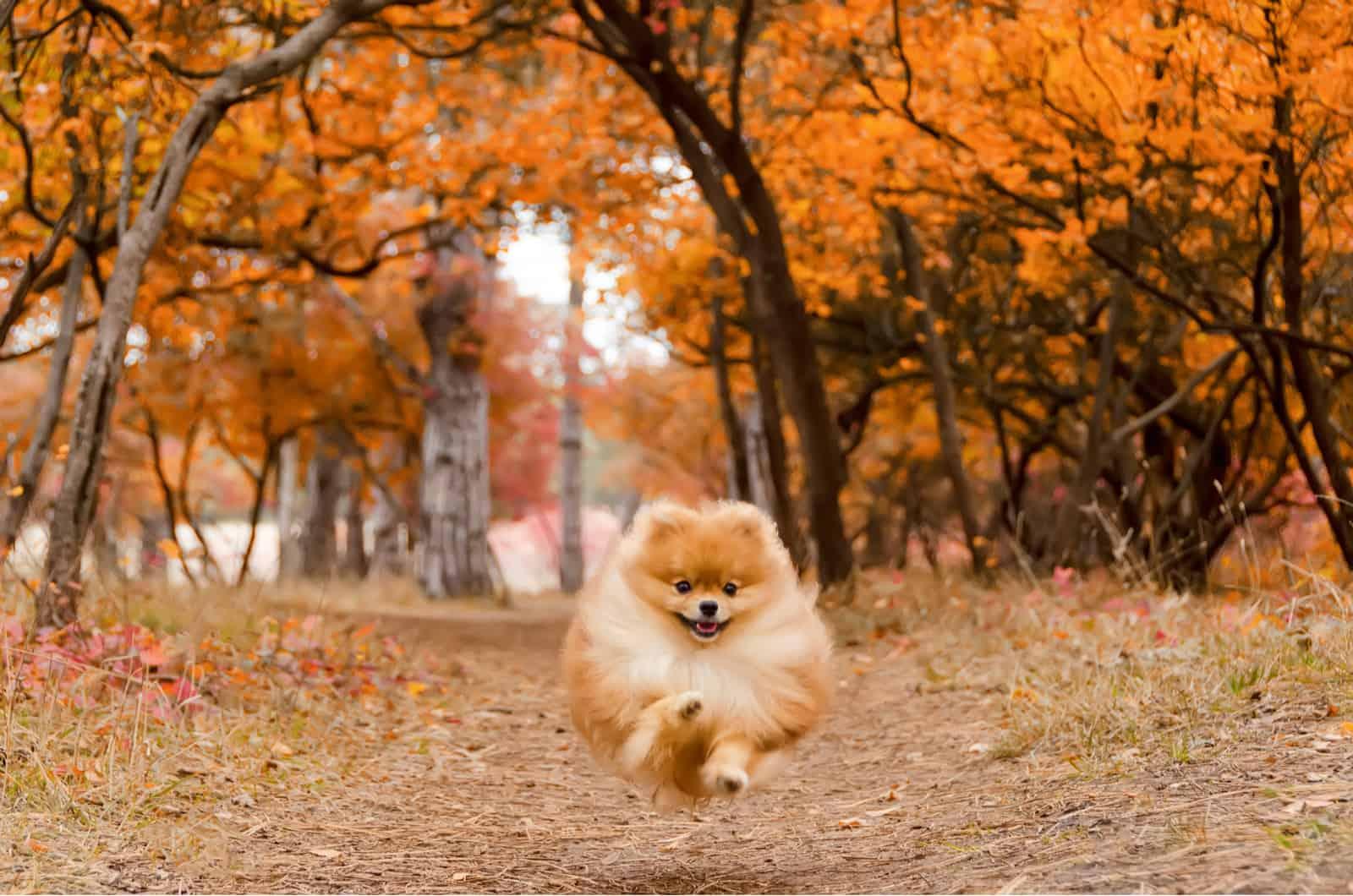 pomeranian in autumn forest