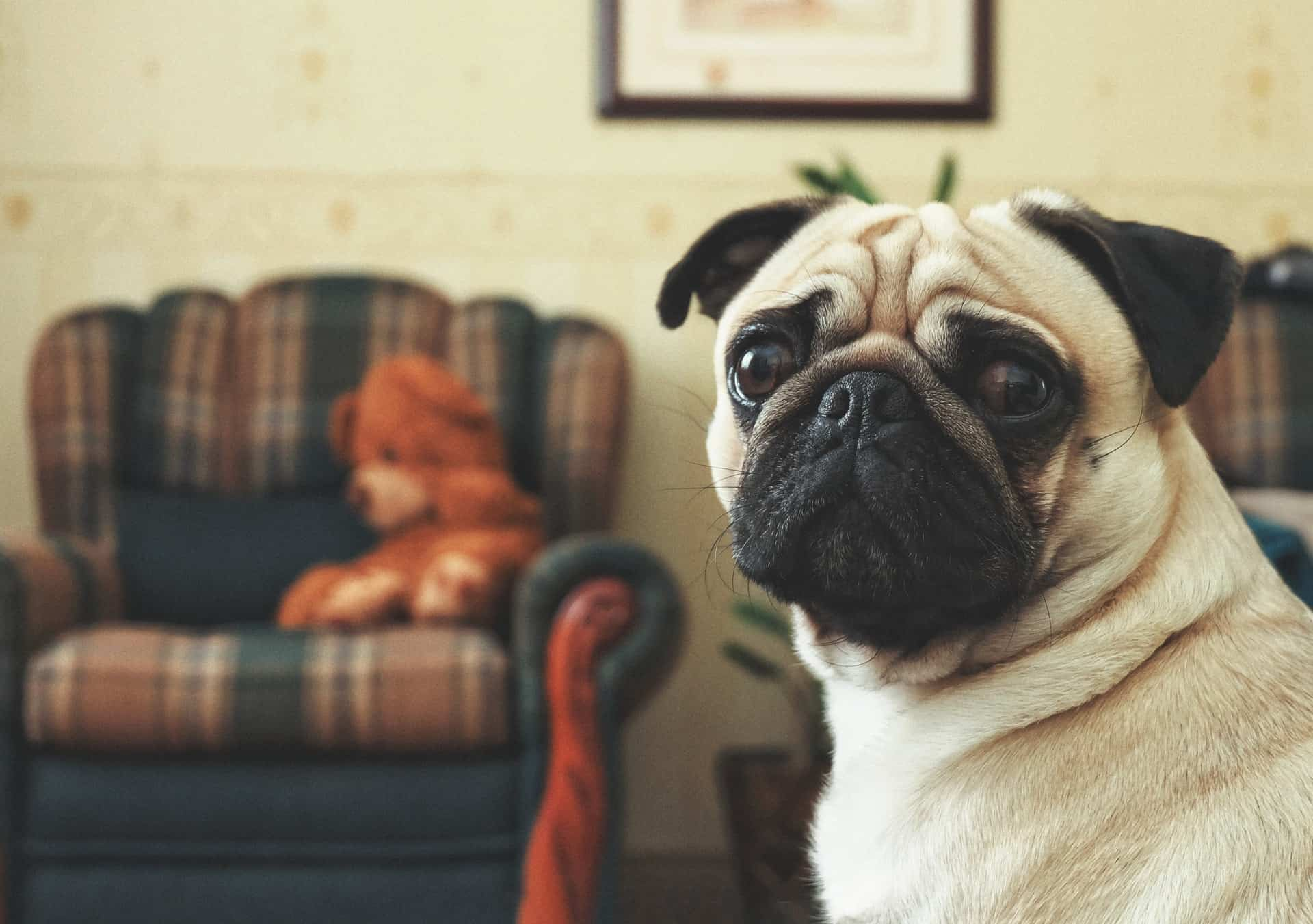 pug in a living room