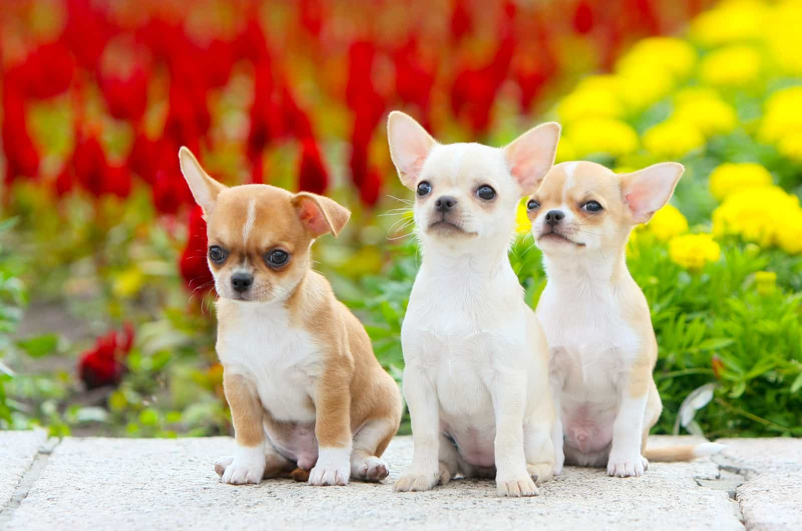 three chihuahua puppies in front of flowers