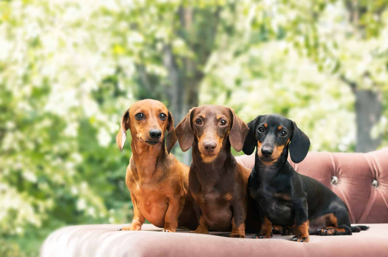 three dachshunds sitting on a bed