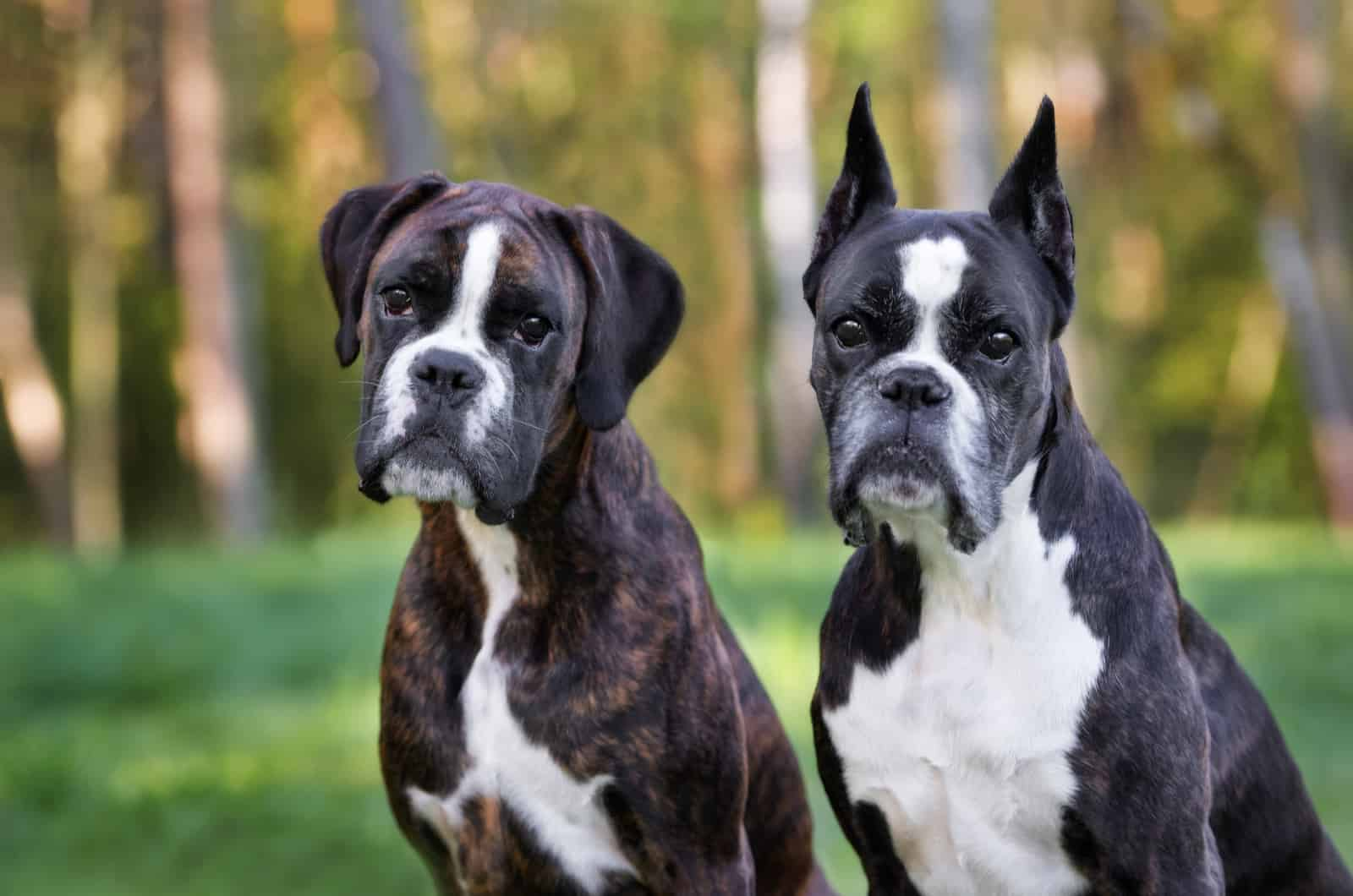 two adult boxer dogs
