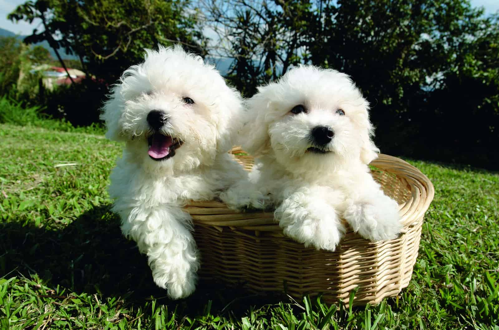 two bichon frise dogs in a basket