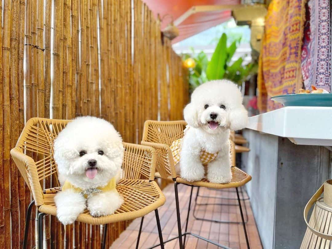 two bichon frise dogs on chairs