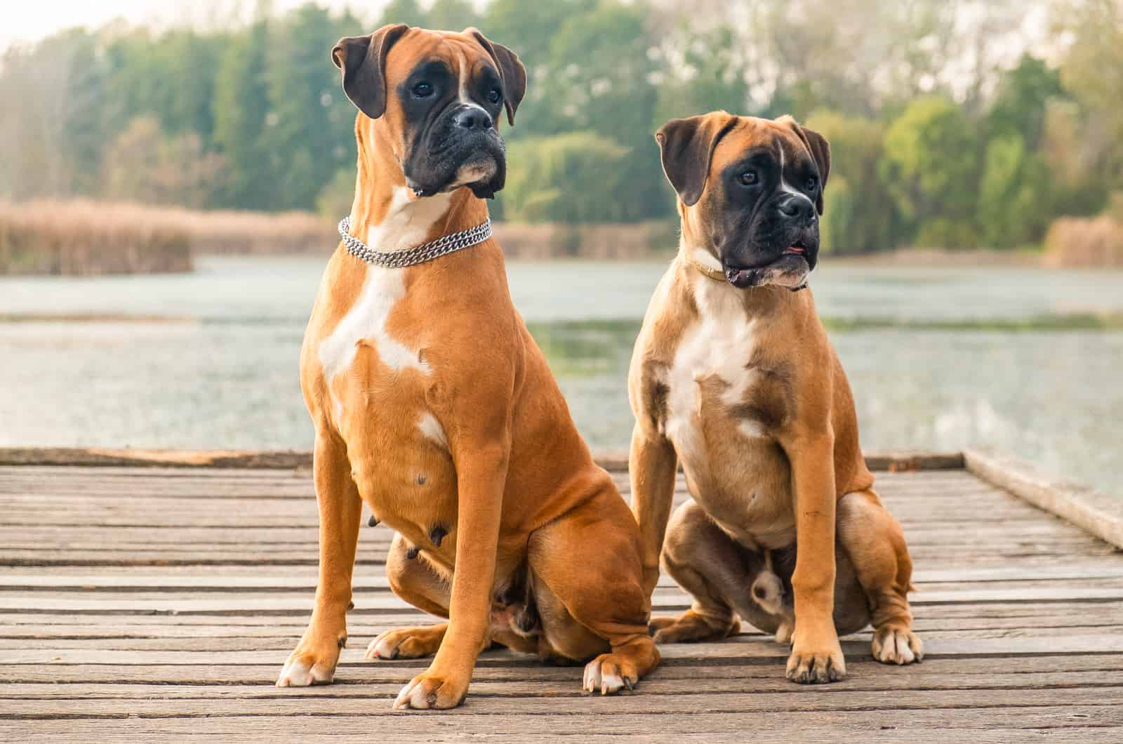 two brown boxer dogs