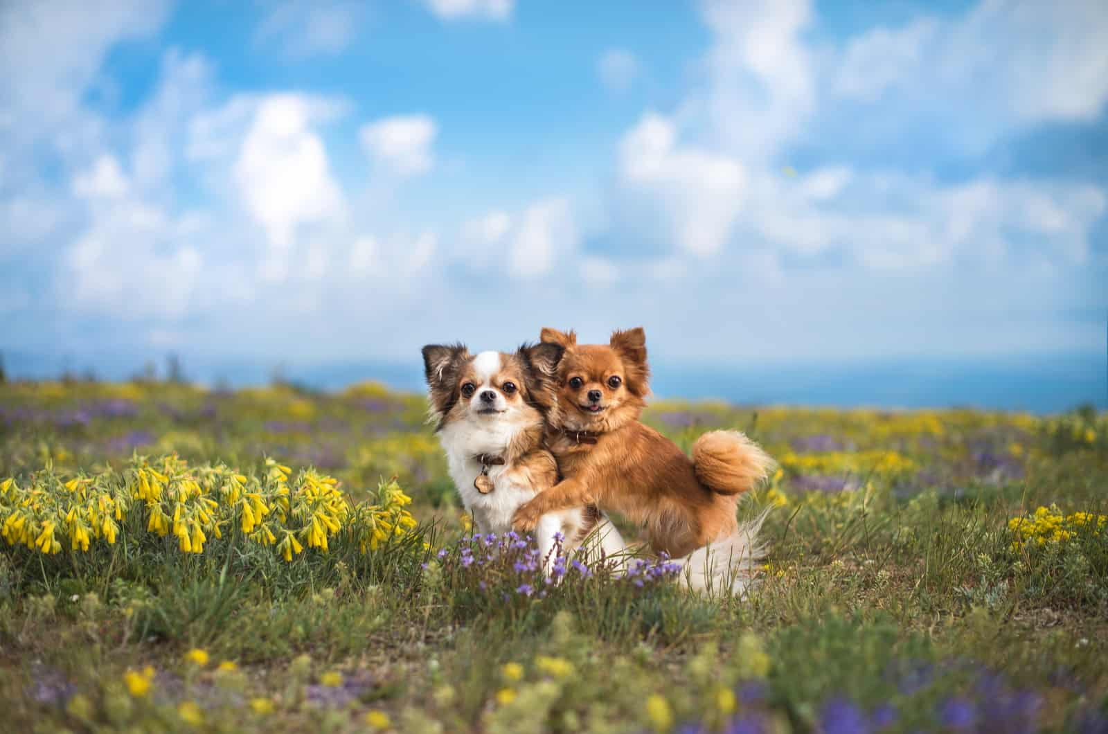 two chihuahua pups in a field