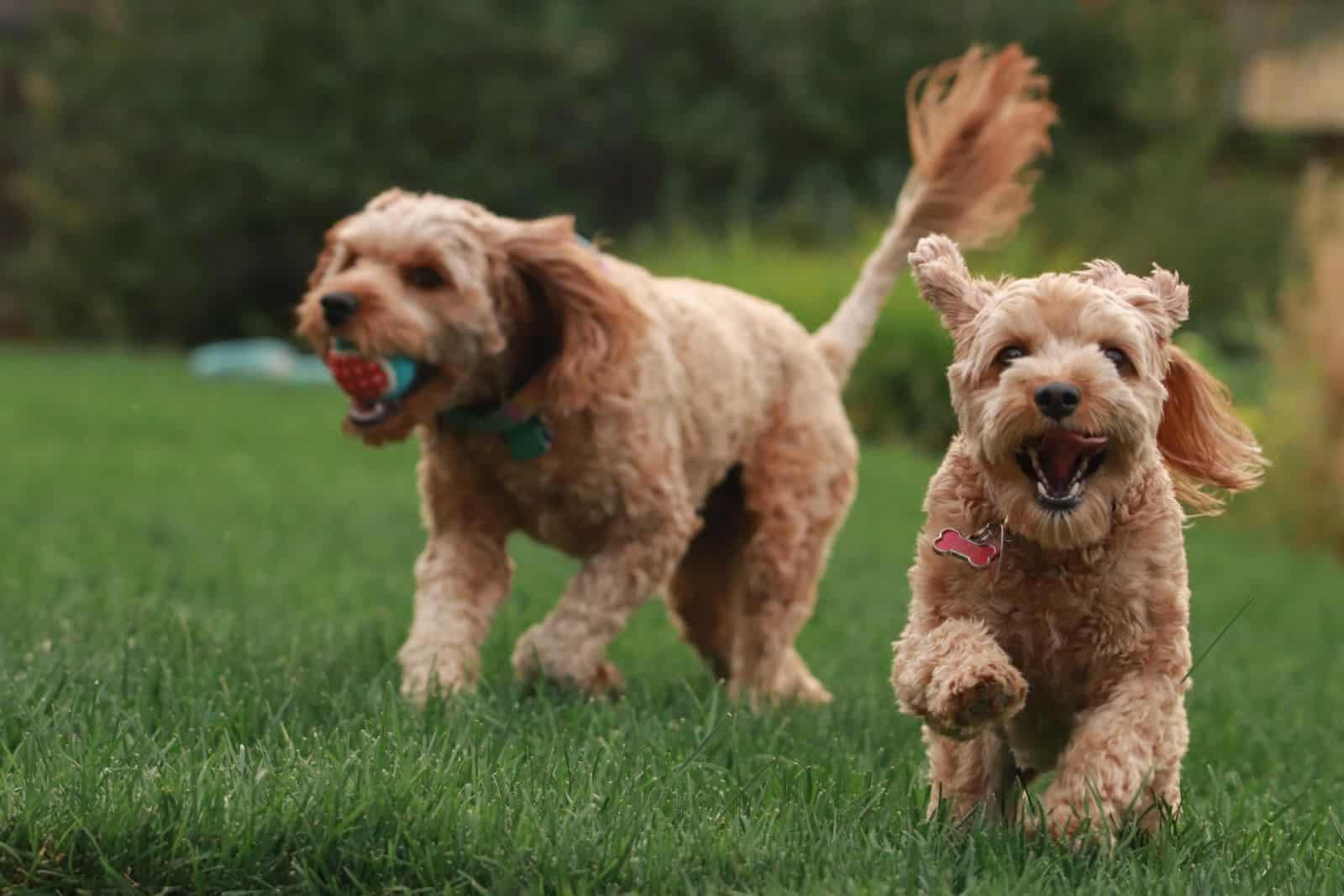 two goldendoodles playing