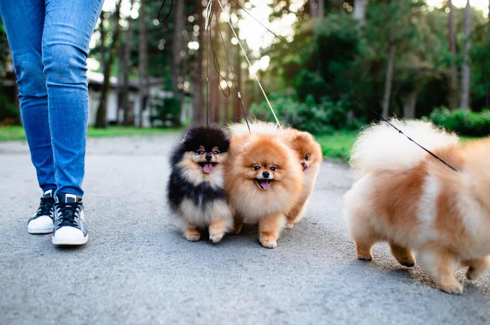 two pomeranians on a leash
