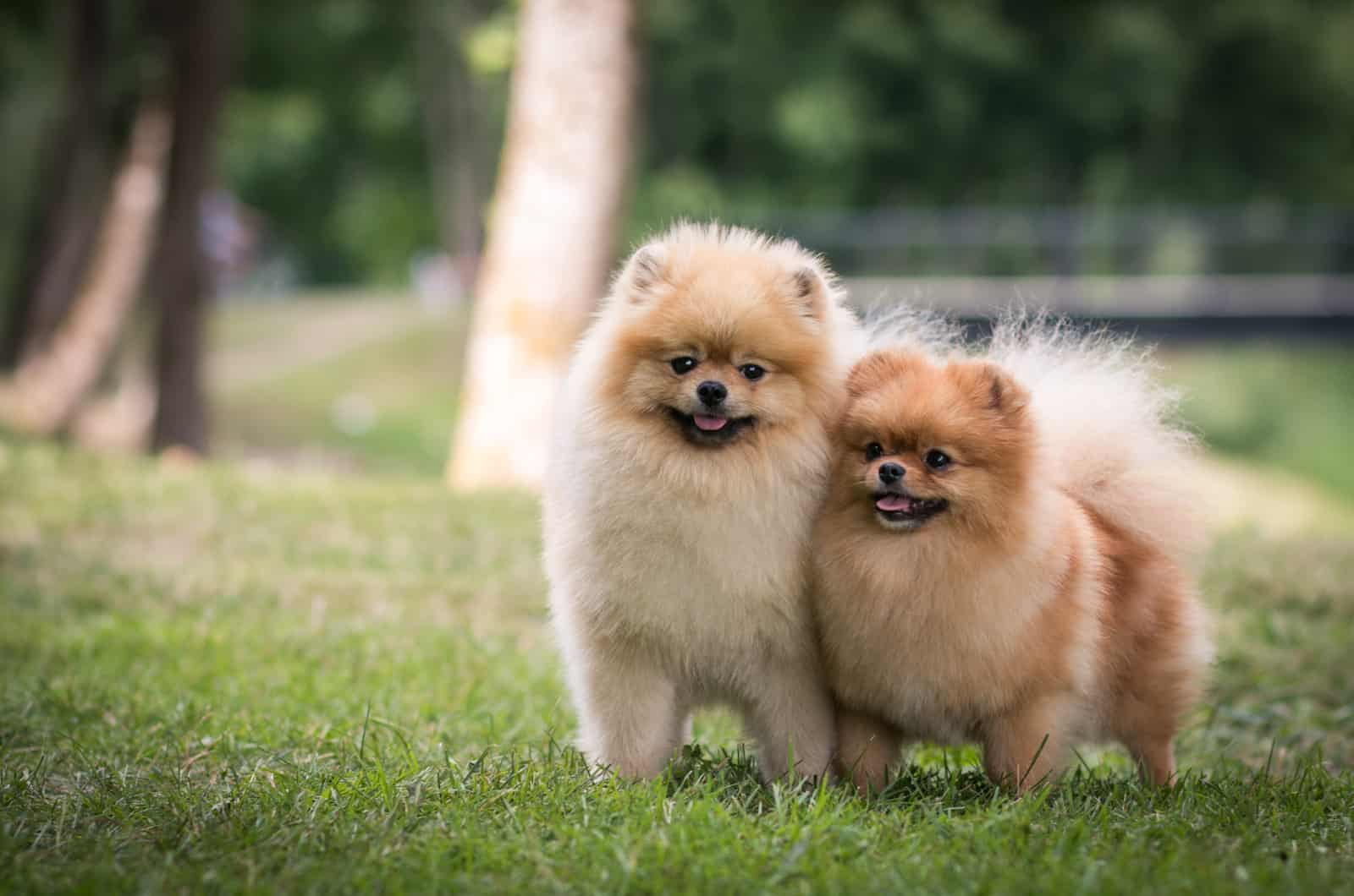 two pomeranians standing in grass
