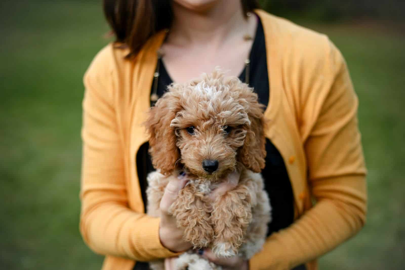 woman holding a goldendoodle